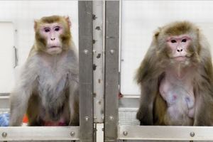 Zmapp Rhesus monkeys 5668832-3x2-940x627