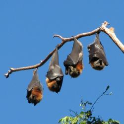 zorros-voladores1
