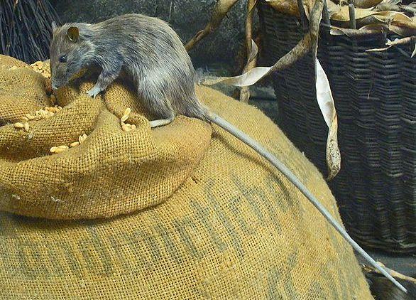 Yersinia pestis Roof_rat-(rattus_rattus)