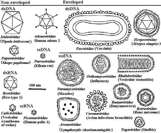 virus families drawn