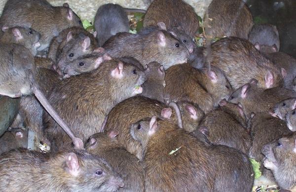 Lassa-Fever..-Rats