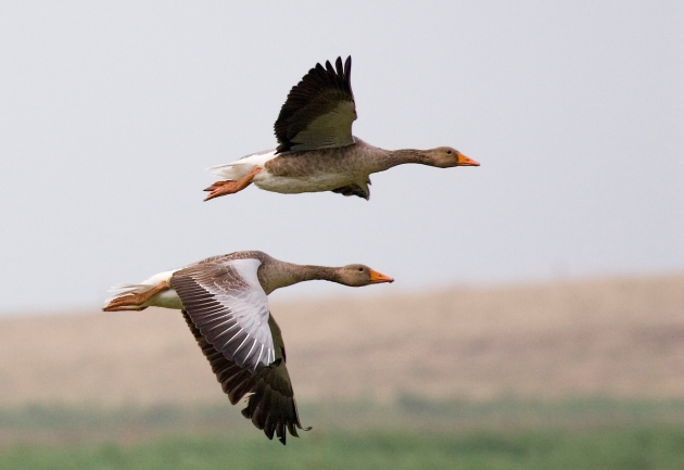 graylag_geese_anser_anser_in_flight_1700