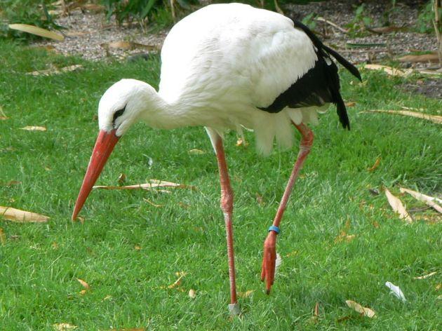800px-ciconia_ciconia_at_the_hamburg_zoo