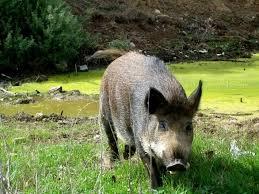 porc senglar viquipedia